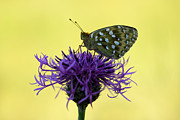 Mark Johnson - Dark Green Fritillary