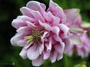 Jem Fine Arts Photos - Double Columbine named Pink Tower by J McCombie