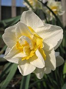 Mccombie Photos - Double Daffodil named White Lion by J McCombie