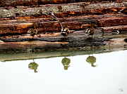 Dan Daulby - 3 Ducks on a Log