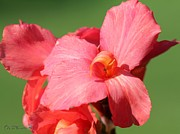 Canna Photos - Dwarf Canna Lily named Shining Pink by J McCombie