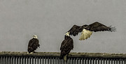 Timothy Latta - 3 Eagles in the rain in...