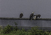 Timothy Latta - 3 Eagles on a rainy day...