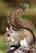 Sciurus Carolinensis Prints - Eastern Gray Squirrel Print by Millard H. Sharp