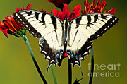 Papilionidae Prints - Eastern Tiger Swallowtail Butterfly Print by Millard H. Sharp