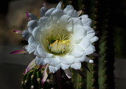 White Cactus Flower Framed Prints - Echinopsis candicans Framed Print by Saija  Lehtonen
