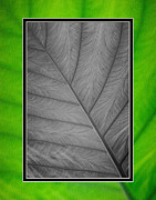 Matting Photo Framed Prints - Elephant Ear Leaf Close-Up Framed Print by Charles Feagans