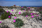 Chile Framed Prints - Flowering Desert Framed Print by James Brunker