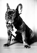 Falko Follert Art - French Bulldog by Falko Follert