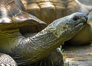Long-lived Photos - Galapagos tortoise by Brian Stevens