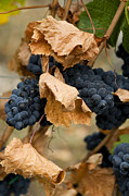Grapevine Leaf Framed Prints - Gamay Noir Grapes Framed Print by Kevin Miller