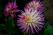 All - Glenbank Twinkle Dahlia by Glenn Franco Simmons