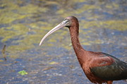 Birds - Glossy Ibis  by Kathy Gibbons