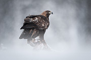 Freeze Framed Prints - Golden Eagle Framed Print by Andy Astbury