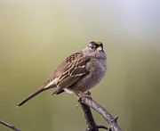 Doug Lloyd - Goldencrowned Sparrow