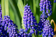 Mark Dodd - Grape Hyacinth