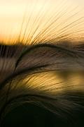 Jeanette K - Grass Sunset
