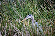 Bill Hosford - Great blue heron