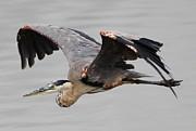 Paulette  Thomas - Great Blue Heron in Flight