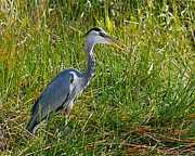 Herodias Prints - Great Blue Heron Print by Rudy Umans