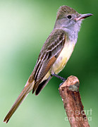 Flycatcher Art - Great Crested Flycatcher by Millard H. Sharp