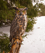 Simon Jones - Great Horned Owl