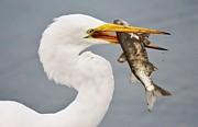 Thomas Photography  Thomas - Great White Egret with Fish