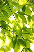 Backlit Prints - Green spring leaves Print by Elena Elisseeva
