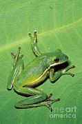 Sticky Framed Prints - Green Tree Frog Framed Print by Millard H. Sharp