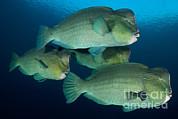 Large School Of Bumphead Parrotfish Print by Steve Jones