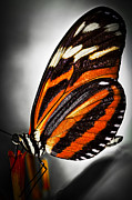 Fly Posters - Large tiger butterfly Poster by Elena Elisseeva