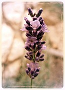 Burgeon Prints - Lavander Print by Nina Ficur Feenan