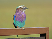 Tony Murtagh - Lilac Breasted Roller