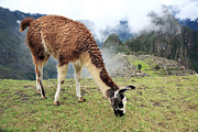 Peruvian Llama Prints - Llama at Lost City of Machu Picchu - Peru  Print by Yaromir Mlynski