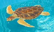 Animal Rescue Posters - Loggerhead Sea Turtle Poster by Millard H. Sharp