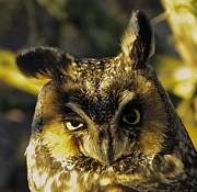 Rob Mclean  - Long Eared Owl