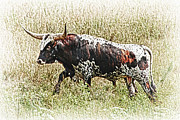 Bill Kesler Framed Prints - Longhorn Bull - A Strong Portrait Framed Print by Bill Kesler