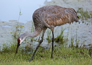 Feeding Birds Photo Prints - Lovely Sandhill Crane Print by Carol Groenen