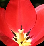 Barbara S Nickerson - Macro Tulip