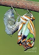 Fauna Metal Prints - Malachite Butterfly Metamorphosis Metal Print by Millard H. Sharp
