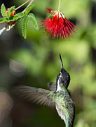 Michael Moriarty - Male Costa Hummingbird