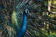 Pretty Colored Bird Photos - Male Peacock by Zoe Ferrie