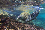 Hawaii Sea Turtle Art - Maui Turtle by James Roemmling