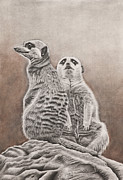 Meerkat Drawings - Meerkat by Ashleigh Dix