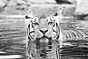 Mike The Tiger Metal Prints - Mike Metal Print by Scott Pellegrin