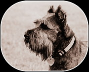 Schnauzer Art Photos - Miniature Schnauzer by Mickey Harkins