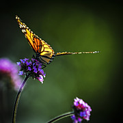 Sitting Photo Posters - Monarch butterfly Poster by Elena Elisseeva