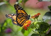 Saija  Lehtonen - Monarch Butterfly
