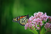 Neal Eslinger Photography Prints - Monarch in Light  Print by Neal  Eslinger