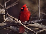 Male Northern Cardinal Prints - Northern Cardinal Print by Frank Piercy
